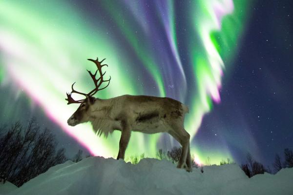 Reindeer under the aurora